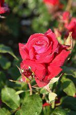 Rosa Viiniruusu (Lübecker Rotspon) TanTop