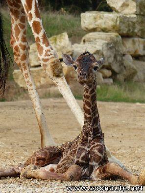 Naissance d'une girafe à la Réserve Africaine de Sigean