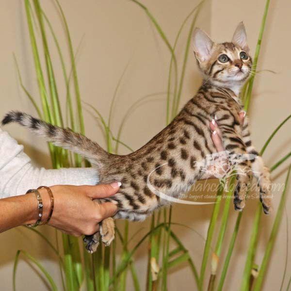 F3 Savannah Kittens For Sale Savannah Cat Breed Savannah