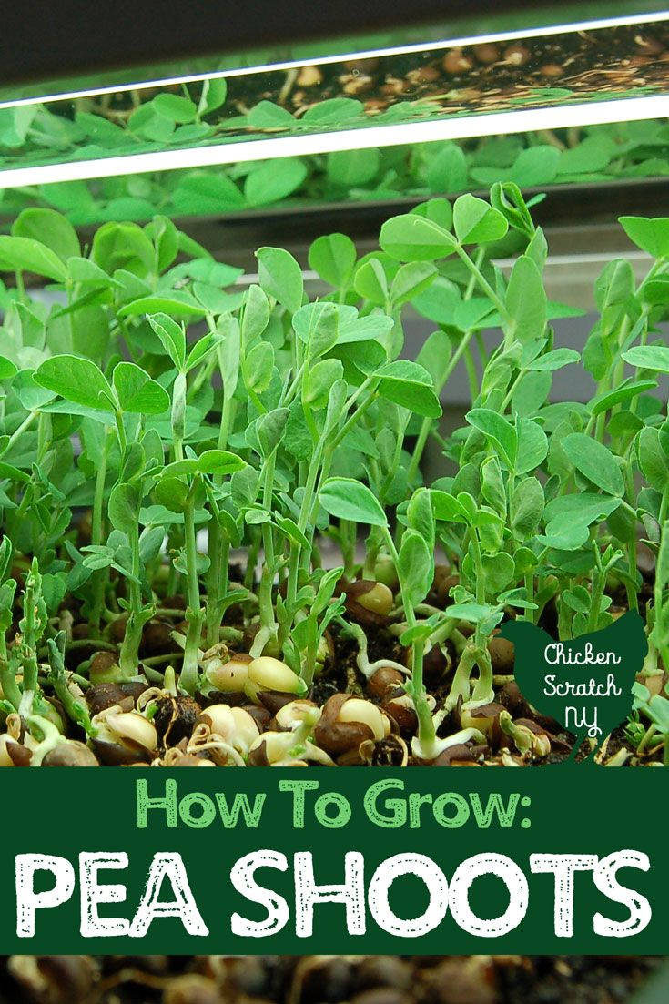 Pea shoots are a quick crop perfect for beginners or advanced gardeners. The sweet, juicy and tasty little plants taste just like snow peas and can be grown inside without any special equipment #indoorgardening #vegetablegardening #beginnergardening #wintergardening #growfoodinthewinter #freshgreens #peashoots