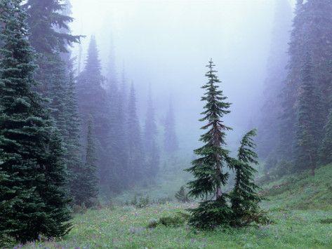 Fir Trees and Fog, Mt. Rainier National Park, Washington, USA Photographic Print- living room photo idea