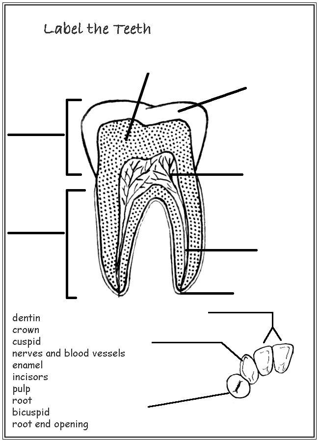 teeth diagram for kids