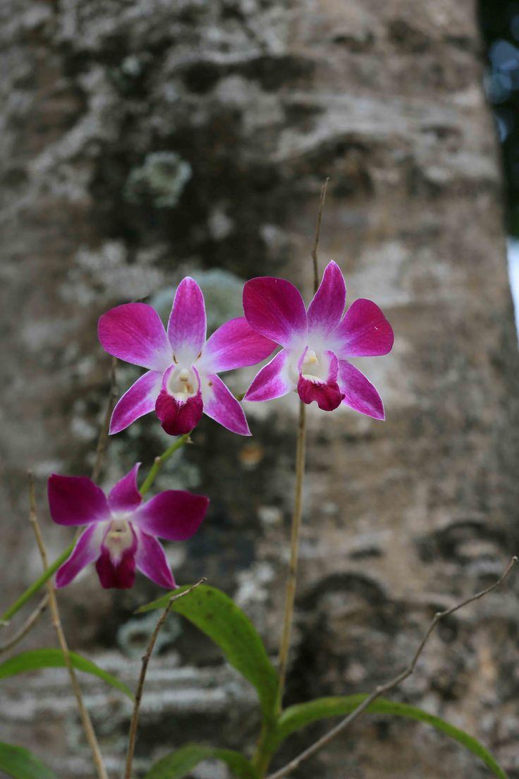 Wild orchid Thailand