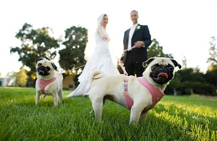 Pug wedding.  I think Lola needs to be a part of the ceremony...