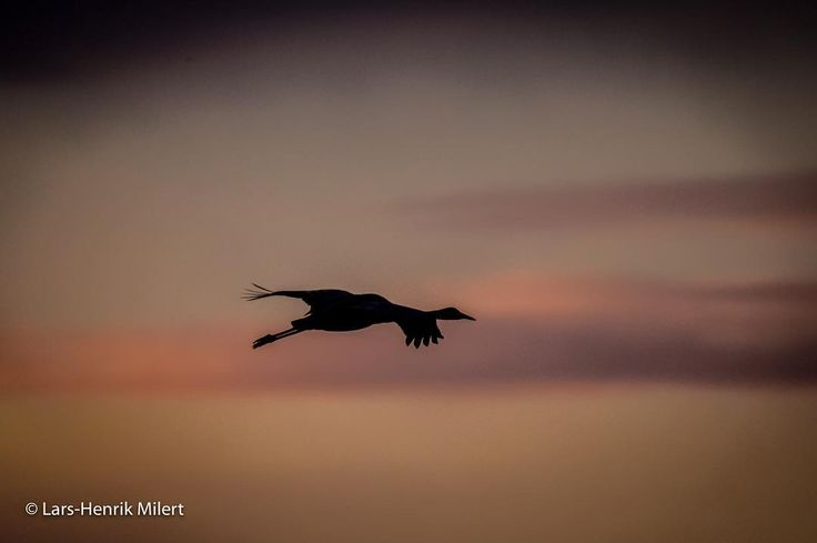 Back home after an extremely vindy and COLD day at Hornborgasjöen in Sweden with my bhai Rajat Pal Singh There are still apron. 1.500 common cranes there to be taken pictures of - One of them flew into my frame this morning
