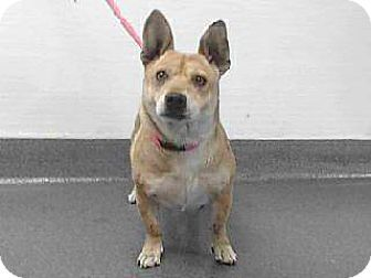 Downey, CA - Welsh Corgi Mix. Meet 17-18082, a dog for adoption. http://www.adoptapet.com/pet/17889708-downey-california-welsh-corgi-mix