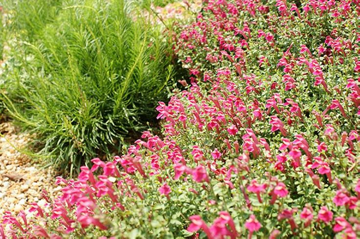"""Scutellaria-""""One of the greatest low layer plants you can use! It is very neat and tidy, and will keep its round form quite well. The small pink flowers. Pink Skullcap is very versatile; Not only it will thrive in both full sun and part shade but it is also an evergreen that will add much needed greenery during the winter. Disease and pest resistance and quite drought tolerant: Pink Skullcap is a no brainer choice for Austin waterwise landscapes."""""""