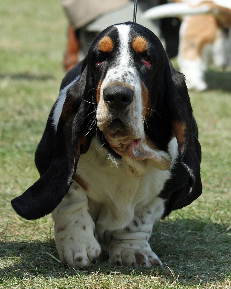 Look at those ears! Basset Hound