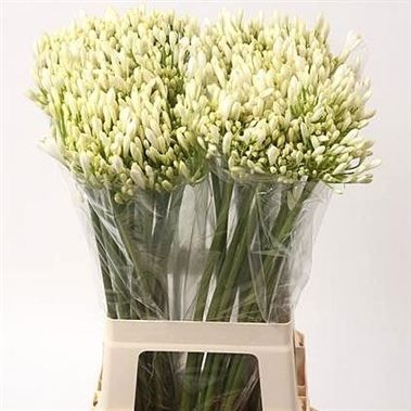 White agapanthus in unbloomed wholesale bunches