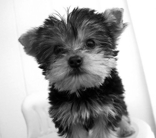 Black and white yorkie princess 8 x 10 photography print