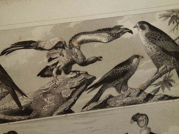 BIRD prints original 1849 old antique print of by DecorativePrints