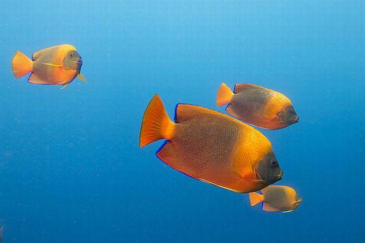 Holacanthus clarionensis. Acredita-se que mais de 99% da população selvagem desse peixe viva em torno dos recifes rochosos das Ilhas Revillagigedo, no México. Eles são distintos por seus corpos laranja brilhantes envoltos com uma coloração roxa.