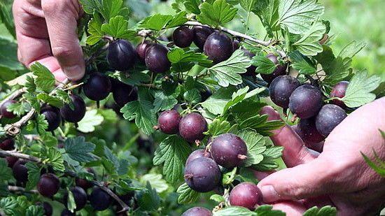 """Black Velvet Gooseberry Bush - Eat Fresh or Baked - 4"""" Pot"""