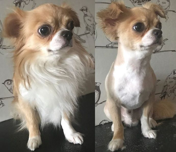 5 Month Old Apple Head Chihuahua Chihuahua Love Apple Head Chihuahua Chihuahua