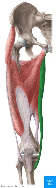 Gracilis muscle (Musculus gracilis)