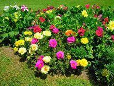 Aprenda a Cultivar a Onze-Horas   Flores - Cultura Mix