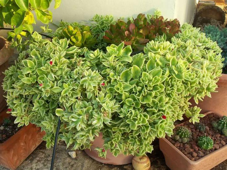 Aptenia cordifolia 'Variegata' – Variegated Hearleaf Ice Plant - See more at: http://worldofsucculents.com/aptenia-cordifolia-variegata-variegated-hearleaf-ice-plant