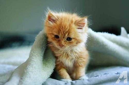 Beautiful siberian kitten rare orange tabby
