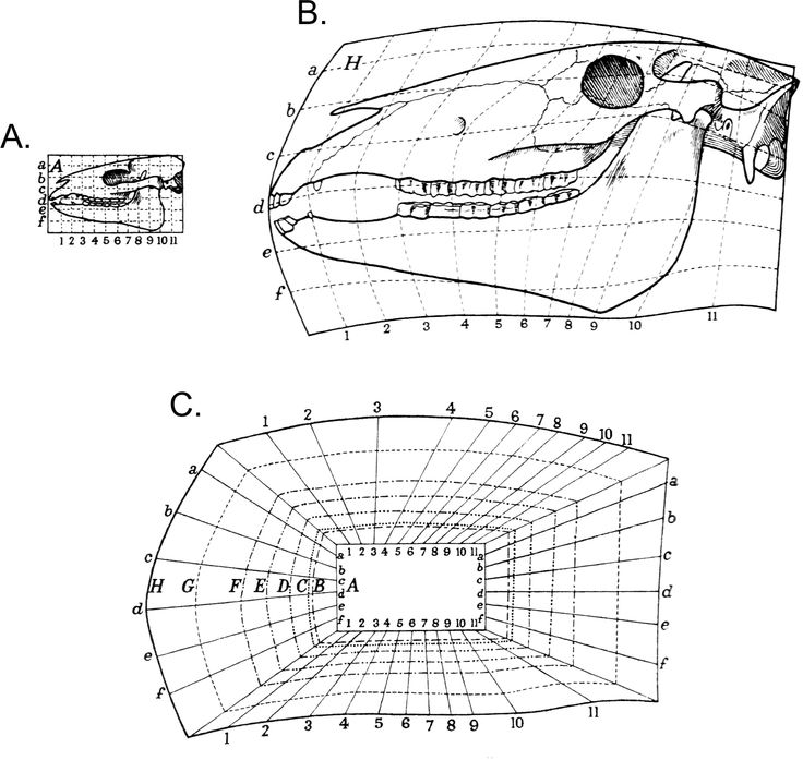 Thompson's transformation grid analysis for the transition from the Eocene Hyracotherium skull form (A) to the modern Equus skull form (B). Note the representation of hypothetical intermediate stages of the transformation via linear interpolation (C). From Thompson 1917.