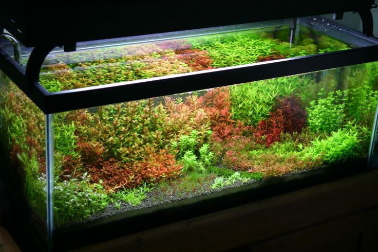 The planted tank forum view single post rotala madness for 20 gallon long fish tank