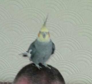 LOST COCKATIEL: 18/07/2016 - West Drayton, London Borough of Hillingdon, London, England, United Kingdom. Ref#: L25571 - #ParrotAlert #LostBird #LostParrot #MissingBird #MissingParrot #LostCockatiel #MissingCockatiel