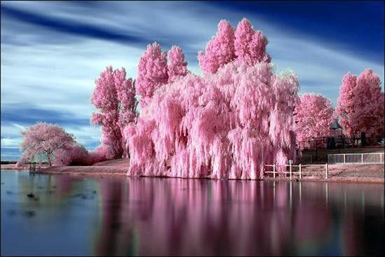 Roze #bomen boven het #water midden in de #natuur