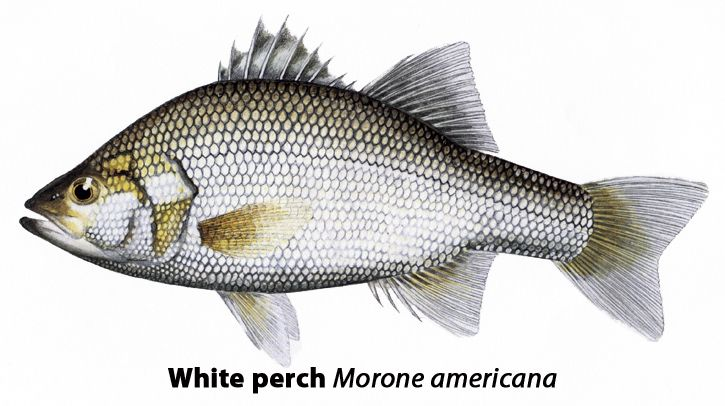White perch morone americana local names wreckfish for Silver bass fish