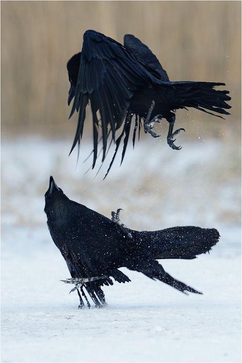 ravensbeak: