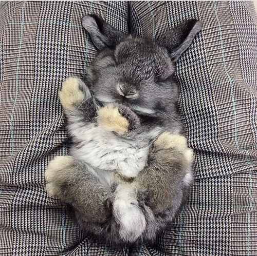 This bun who will only nap in decors that match his luscious gray coat. | 23 Bunnies Snoozin'