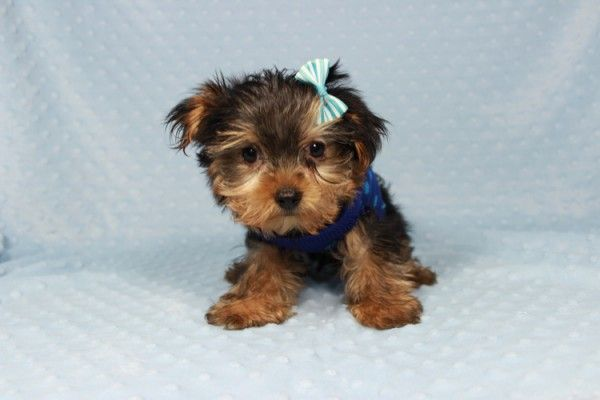 Cassanova Teacup Yorkie Puppy In Las Vegas Teacup Yorkie Puppy Teacup Puppies Puppies