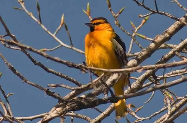 oriole by birds blooms magazine birds birds and more birds