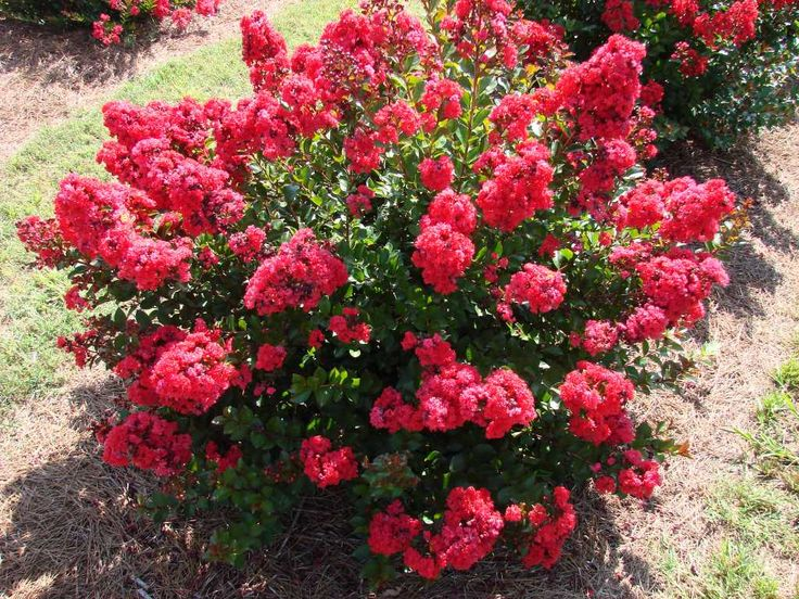 Red Magic Crapemyrtle | First Editions Plants