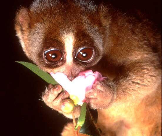 Der langsame Loris. Dieses entzückende Tier mit seinen großen unschuldigen Augen ist ein …   – Rare & Exotic Animals