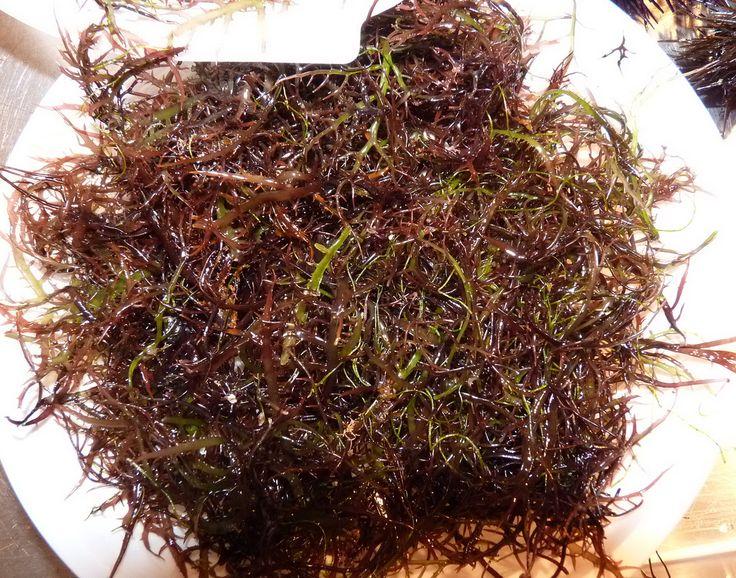 Catania - U Mauru (Edible seaweed-Alga commestibile).