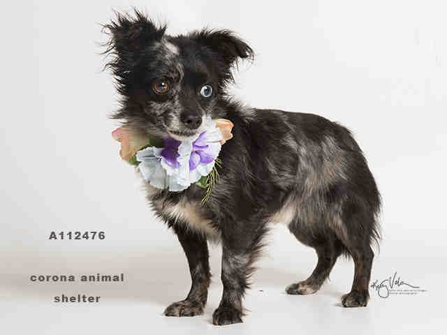 Chihuahua dog for Adoption in Corona, CA. ADN-475427 on PuppyFinder.com Gender: Male. Age: Adult