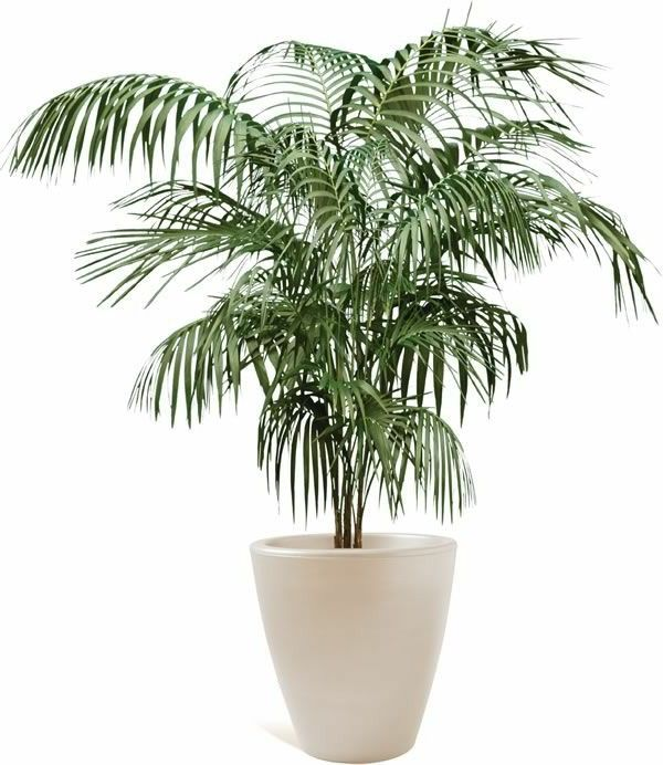 17 Best Ideas About Bamboo Palm On Pinterest Indoor