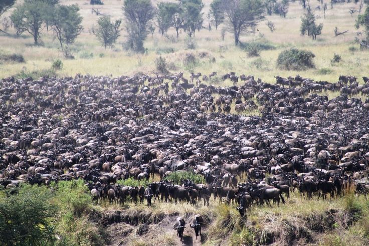 The herds waiting to cross the Mara River...