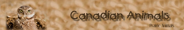 Canadian Animals Inquiry Project:  Student inquiry research project on specific Canadian Animals (prairies included) with age appropriate information and resources.
