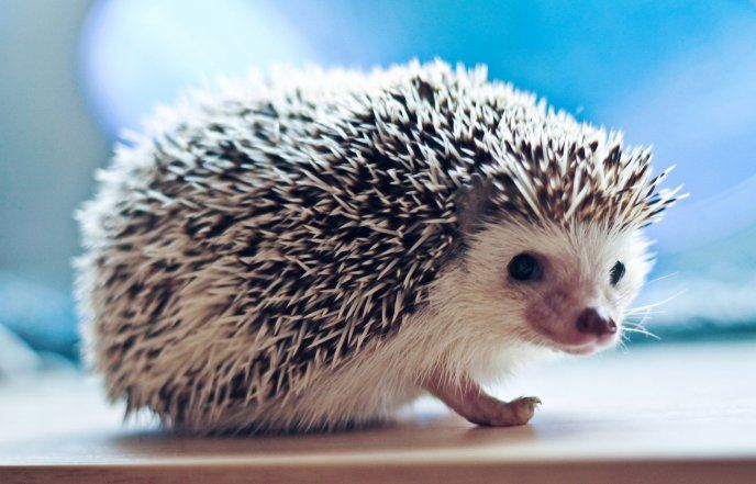 A pygmy hedgehog