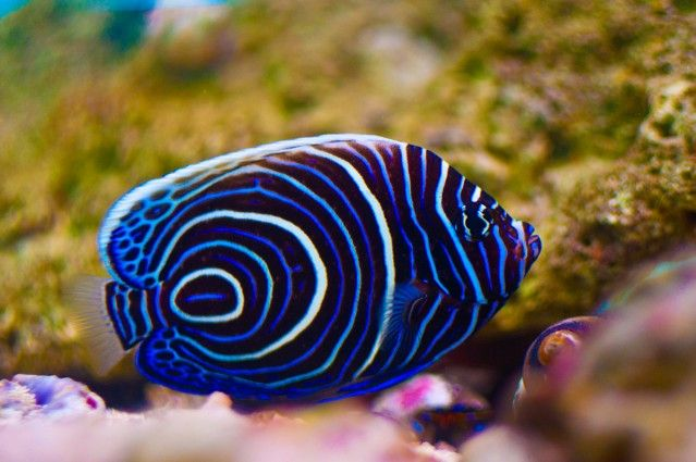 Emperor angel fish tropical fish a relaxing hobby for Saltwater reef fish