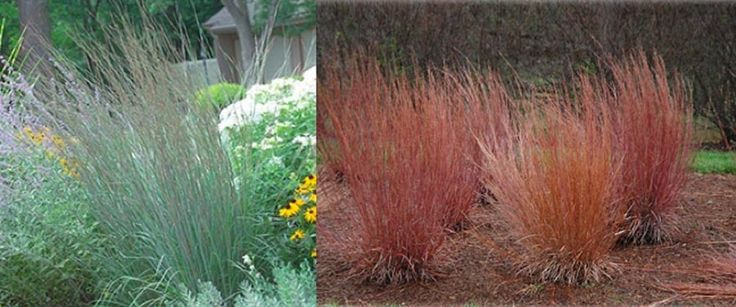 27 best ornamental grasses images on pinterest for Front yard ornamental grasses