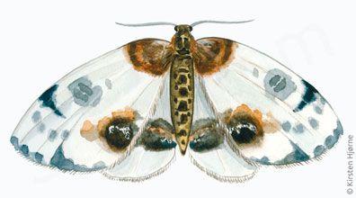 Harlekin - Calospilos sylvata - Magpie