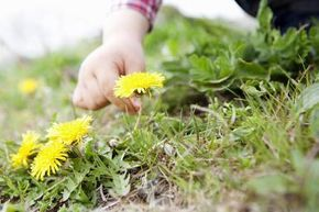 How to Use Vinegar as a Natural Weed Killer: The dandelion may be pretty, but it is one tough weed.