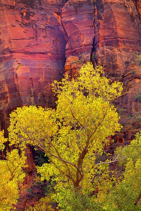 YellowAgainstRedWall: Zion National Parks, Kevin Mcneal, Red Wall, Yellowagainstredw 720, Mcneal Photography, Yellowagainstredwal 720, National Parks Utah, Zion Np, Yellowagainstredw Natureart