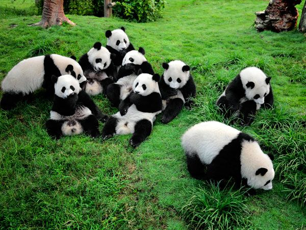 Tips on Chengdu Panda Base Tour, How to Visit Chengdu Panda Base