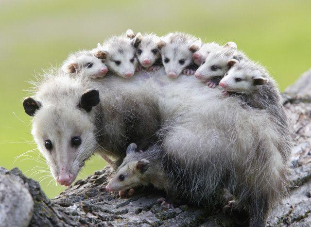 Les opossums pourraient vous sauver des morsures de serpent