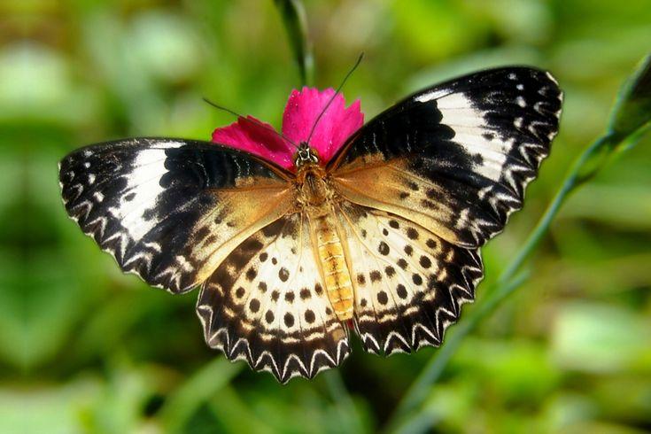 Cethosia cyane female (dorsale Ansicht)- Leopard Lacewing ...