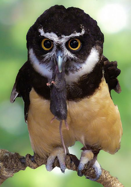 A spectacled owl How can something be that adorable with a freshly killed animal in its mouth?