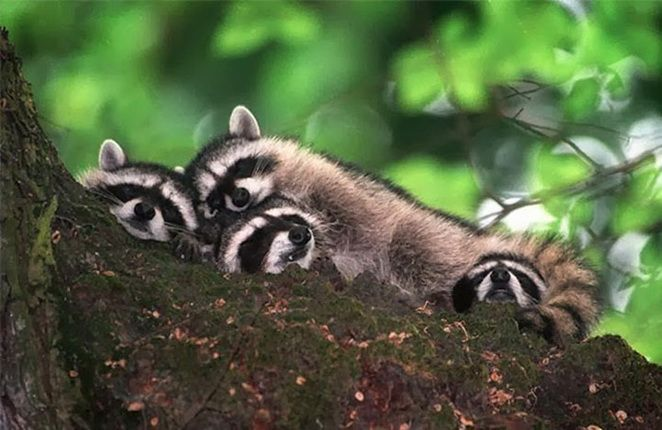4. Une famille de ratons laveurs et maman et bébé otarie