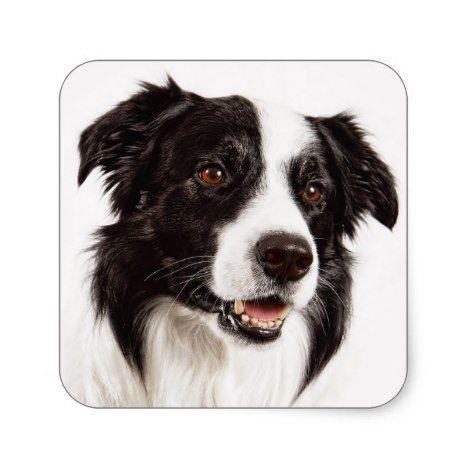 Black And White Border Collie Puppy Dog Stickers | Zazzle.com   – Border Collie Magic